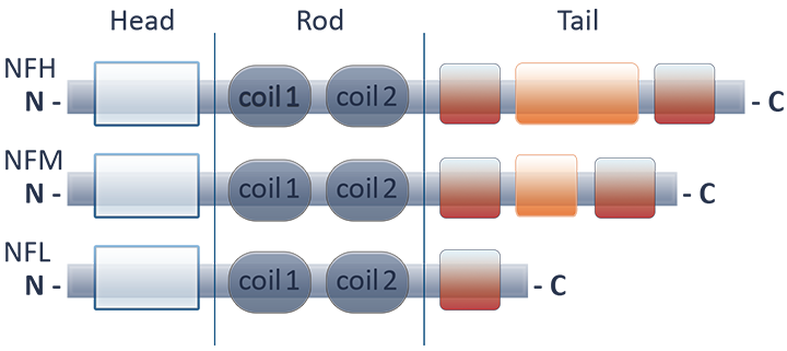 Schematic illustration of neurofilament subunits